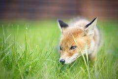 αλεπού μικρή Στοκ Φωτογραφίες