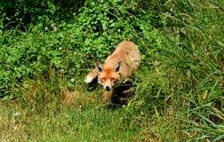 Αλεπού πονηριών Στοκ φωτογραφία με δικαίωμα ελεύθερης χρήσης