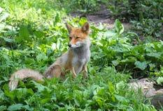 Αλεπού πονηριών Στοκ εικόνες με δικαίωμα ελεύθερης χρήσης