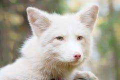 αλεπού Πορτρέτο ένα πρόσωπο πονηριών το χρώμα είναι άσπρο Στοκ Φωτογραφία