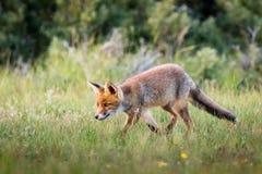 Αλεπού που περπατά στη χλόη Στοκ Εικόνες