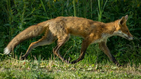 Αλεπού που τρέχει με τα υγρά πόδια Στοκ φωτογραφίες με δικαίωμα ελεύθερης χρήσης