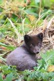 αλεπού πολική Στοκ εικόνα με δικαίωμα ελεύθερης χρήσης