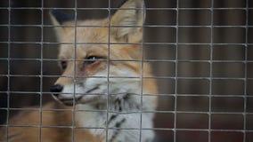 Αλεπού σε ένα κλουβί απόθεμα βίντεο
