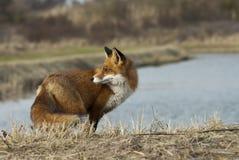 Αλεπού στην άγρια φύση στοκ εικόνες με δικαίωμα ελεύθερης χρήσης