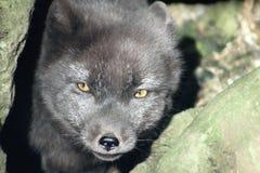 Αλεπού στη φύση Στοκ φωτογραφία με δικαίωμα ελεύθερης χρήσης
