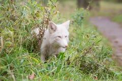 Αλεπού στη χλόη το χρώμα είναι άσπρο μοιχαλίδα στοκ εικόνες με δικαίωμα ελεύθερης χρήσης
