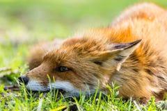 Αλεπού στη χλόη Στοκ εικόνα με δικαίωμα ελεύθερης χρήσης