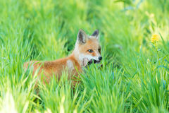 Αλεπού στη χλόη Στοκ Εικόνες