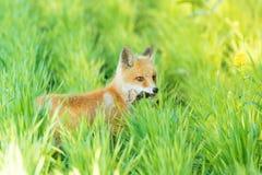 Αλεπού στη χλόη Στοκ φωτογραφίες με δικαίωμα ελεύθερης χρήσης