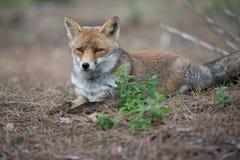 Αλεπού στις άγρια περιοχές Στοκ Εικόνες