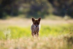 Αλεπού στον ήλιο βραδιού Στοκ φωτογραφίες με δικαίωμα ελεύθερης χρήσης