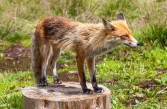 Αλεπού στο δάσος σε υψηλό Tatras, Σλοβακία Στοκ φωτογραφίες με δικαίωμα ελεύθερης χρήσης