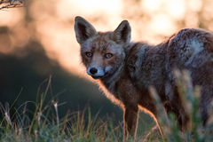 Αλεπού στο ηλιοβασίλεμα Στοκ Φωτογραφίες