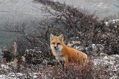 Αλεπού στο θάμνο Στοκ εικόνες με δικαίωμα ελεύθερης χρήσης