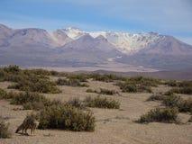 αλεπού της Βολιβίας Στοκ Εικόνες