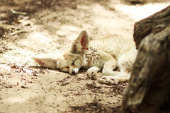 Αλεπού ύπνου Στοκ Εικόνες