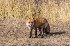 Αλεπού 7271 στοκ εικόνες