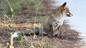 Αλεπού φιλμ μικρού μήκους