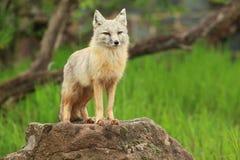 Αλεπού Corsac Στοκ εικόνες με δικαίωμα ελεύθερης χρήσης