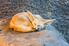 Αλεπού Fennec ή αλεπού ερήμων Στοκ φωτογραφίες με δικαίωμα ελεύθερης χρήσης