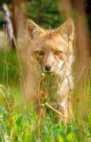 Αλεπού Ushuaia Στοκ φωτογραφίες με δικαίωμα ελεύθερης χρήσης