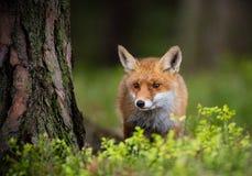 Αλεπού (Vulpes vulpes) στο δάσος της Ευρώπης στοκ εικόνα