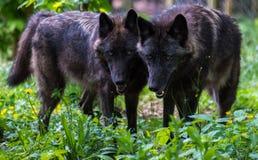 Αδελφοί λύκων Στοκ φωτογραφίες με δικαίωμα ελεύθερης χρήσης