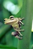 Αληθινός βάτραχος δέντρων, αμφίβιο που διακρίνεται στην παραμονή ατλαντικό Rainfore Στοκ φωτογραφίες με δικαίωμα ελεύθερης χρήσης