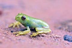 Αληθινός βάτραχος δέντρων που διακρίνεται στο υπόλοιπο του ατλαντικού τροπικού δάσους Στοκ Φωτογραφίες