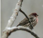 Αδιάκριτο Finch Στοκ φωτογραφίες με δικαίωμα ελεύθερης χρήσης