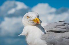 Αδιάκριτο Seagull Στοκ Φωτογραφίες