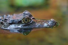 Αλλιγάτορας ή κροκόδειλος Στοκ Εικόνα