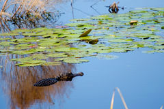 Αλλιγάτορας ελών και κρίνοι, εθνικό καταφύγιο άγριας πανίδας σαβανών Στοκ Φωτογραφίες