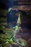 Αλλιγάτορας και χελώνα Στοκ φωτογραφία με δικαίωμα ελεύθερης χρήσης