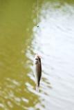 Αλιευμένος από τη μικρή bream ποταμών ένωση σε απευθείας σύνδεση στοκ φωτογραφία με δικαίωμα ελεύθερης χρήσης