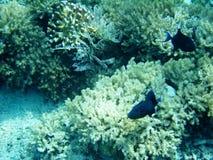 Αλιευμένος και κοράλλι στοκ εικόνα