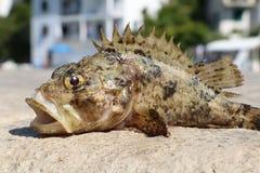 Αλιευμένος gouper και ψημένος στο νερό Στοκ Φωτογραφία