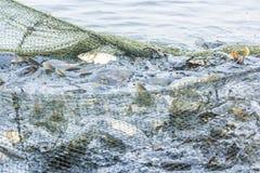 Αλιεύοντας στη λίμνη, τα ψάρια στην καθαρή, ημέρα φθινοπώρου, οι δοκιμές για να πηδήσει πέρα από Στοκ φωτογραφία με δικαίωμα ελεύθερης χρήσης