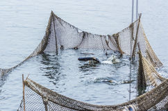 Αλιεύοντας στη λίμνη, τα ψάρια στην καθαρή, ημέρα φθινοπώρου, οι δοκιμές για να πηδήσει πέρα από Στοκ φωτογραφίες με δικαίωμα ελεύθερης χρήσης