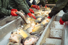 Αλιεύοντας τη λίμνη - κυπρίνος ψαριών ταξινόμησης και άλλα ψάρια Στοκ φωτογραφία με δικαίωμα ελεύθερης χρήσης