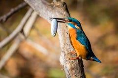 Αλκυόνη που τρώει το όμορφο χρώμα μπλε και καφετί Στοκ Φωτογραφία