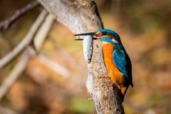 Αλκυόνη που τρώει το όμορφο χρώμα μπλε και καφετί Στοκ Εικόνες