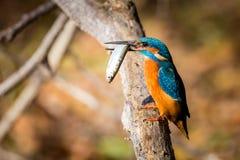 Αλκυόνη που τρώει το όμορφο χρώμα μπλε και καφετί Στοκ εικόνες με δικαίωμα ελεύθερης χρήσης