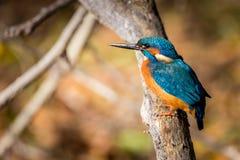 Αλκυόνη που τρώει το όμορφο χρώμα μπλε και καφετί Στοκ Φωτογραφίες