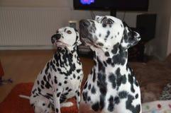 δαλματικό σκυλί Στοκ φωτογραφίες με δικαίωμα ελεύθερης χρήσης