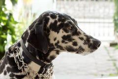 δαλματικό σκυλί Στοκ Φωτογραφίες