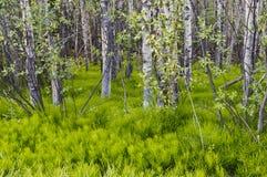 Αλογουρές στο δάσος Στοκ Εικόνες
