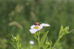 Αλογόμυγα σε ένα λουλούδι Στοκ φωτογραφία με δικαίωμα ελεύθερης χρήσης