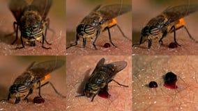 Αλογόμυγα, Tabanidae που είναι πλήρη και ικανοποιημένα Στοκ Εικόνες